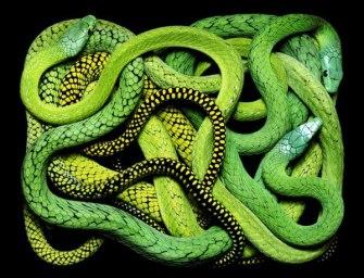 Здесь змей нет