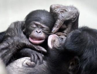 Коммуникация приматов (в природе и в эксперименте)