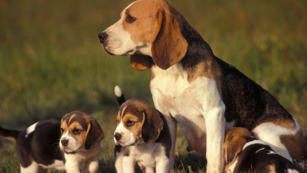 dogs-puppies-beagle-baby-animals-2560×1440-wallpaper