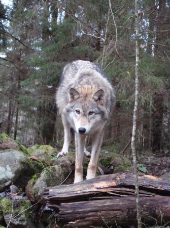 Формирование мышления волка