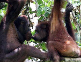 Эволюция любви. Появление австралопитеков.