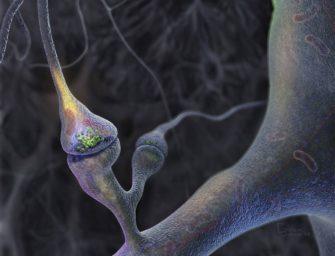 Строение и работа синапса. Принципы деятельности веществ-медиаторов.