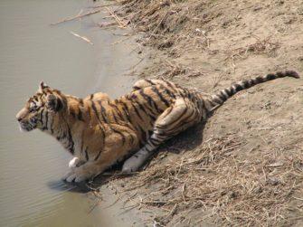 Тигры и леопарды России