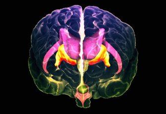 Мозг: стволовые структуры (от кашля и зевоты до сна и терморегуляции)