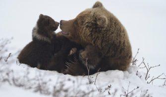 Экология бурого медведя:жизнь медведицы