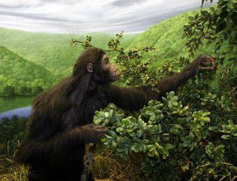 Австралопитеки и их предки: достающее звено, двуногие обезьяны и могила вегетарианцев