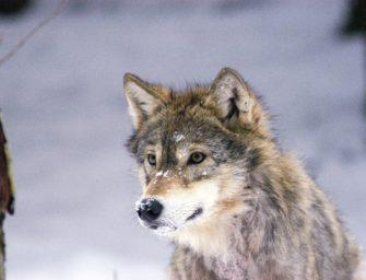 Формирование поведения волка