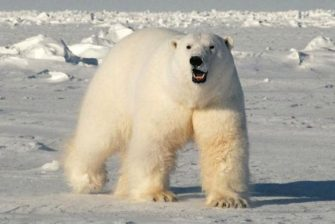 Судьба белого медведя