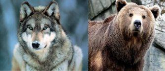 Хищные млекопитающие — возвращение в природу