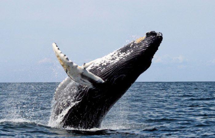 Горбач – самый лучший кит