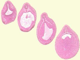Образование органов и тканей