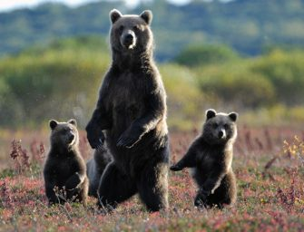 СПБ_Поведение и жизнь бурого медведя