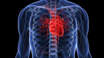 Сердце: зачем оно нужно, как устроено, как работает и кто им управляет