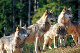 Как устроена и живет семья волков
