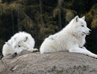 Генетическое разнообразие Canis lupus: как анализ ДНК помогает понять внутривидовую структуру, процессы расселения и гибридизации волка