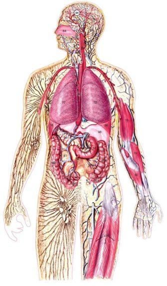 Анатомия. Часть 2 (Общая биология)