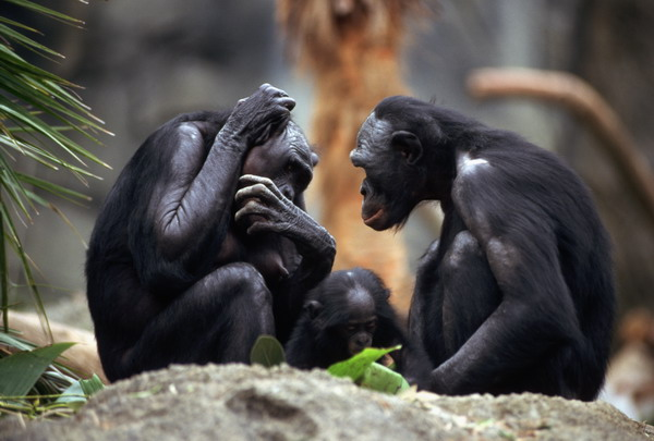 Pygmy Chimpanzees in San Diego Zoo