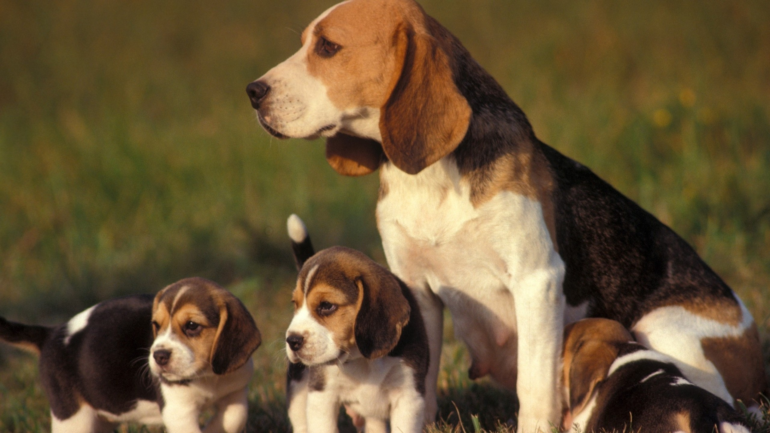 dogs-puppies-beagle-baby-animals-2560x1440-wallpaper